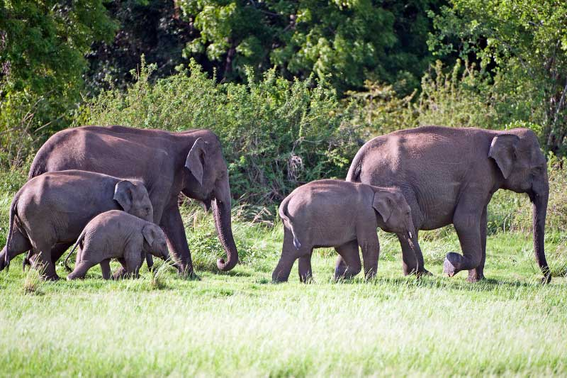 A large family of elephants at minneriya national park sri lanka