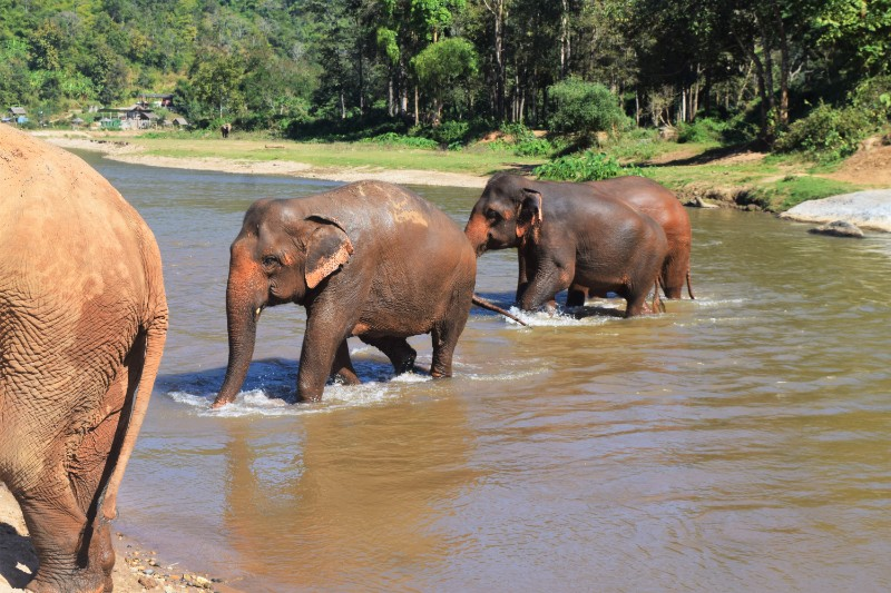 Elephants in Thailand walking across a river, pictured whilst backpacking around Thailand