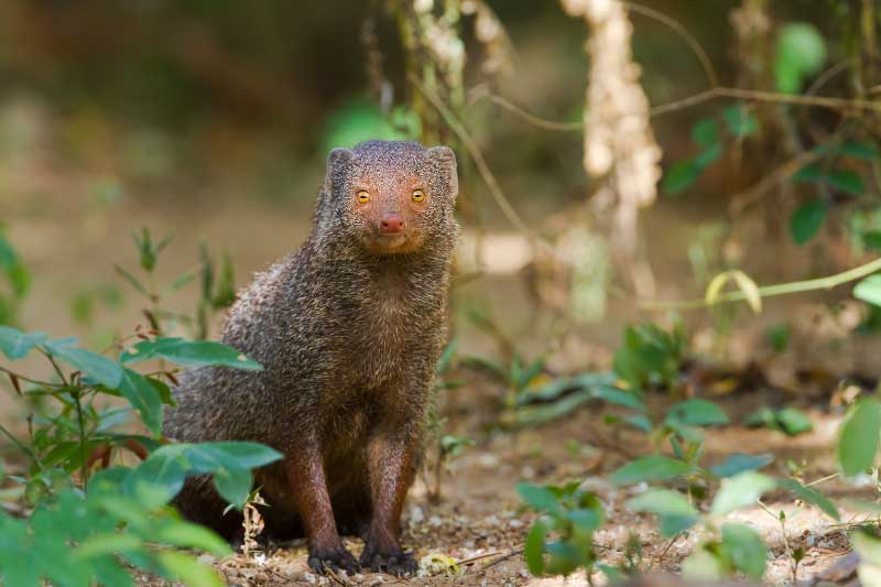 A mongoose looking into the camera on a sri lanka safari