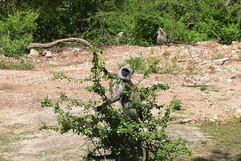 A monkey in a tree in Yala national park, sri lanka