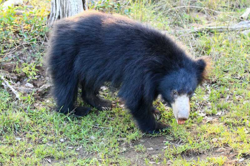 A sloth bear at Wilpattu national park, pictured on sri lanka safari