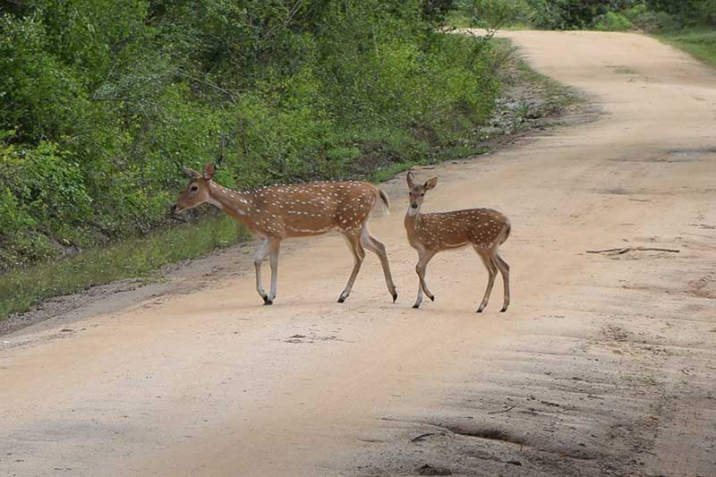 A mother dear walking across the road in yala national park