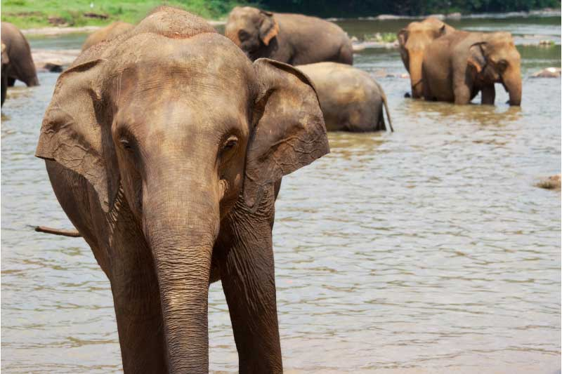 An Asian elephant in the water in sri lanka