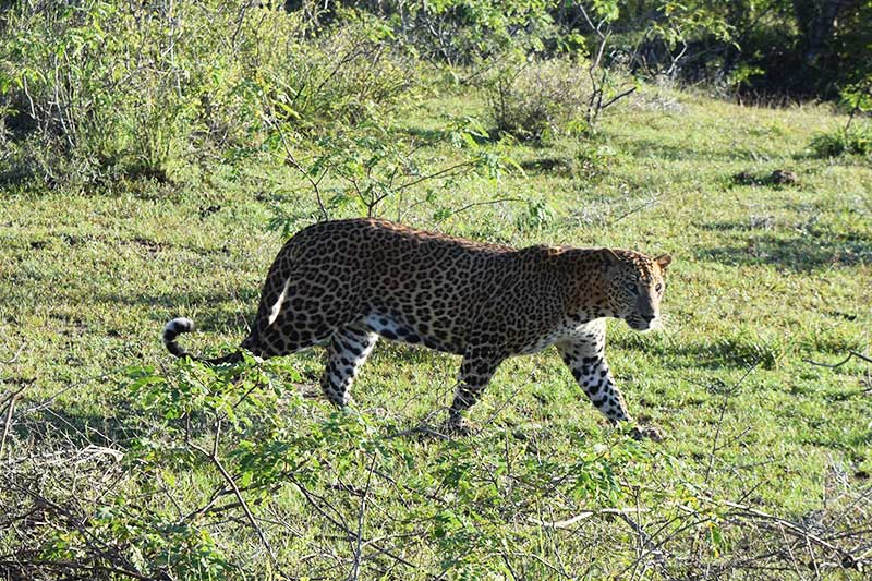 A Sri Lankan Leopard at yala national park, pictured whilst on a sri lanka safari