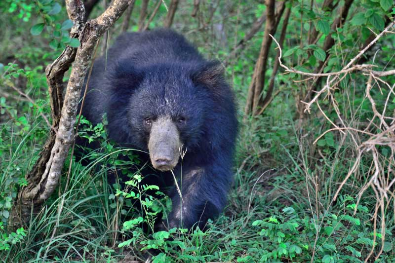 A sri lankan sloth bear going through the trees
