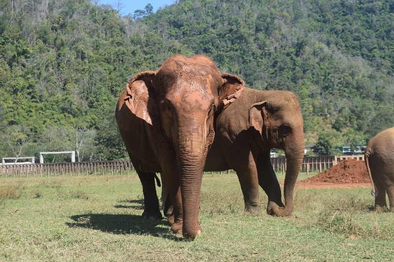2 elephants, one looking at the camera and another behind it. Pictured whilst backpacking through Thailand