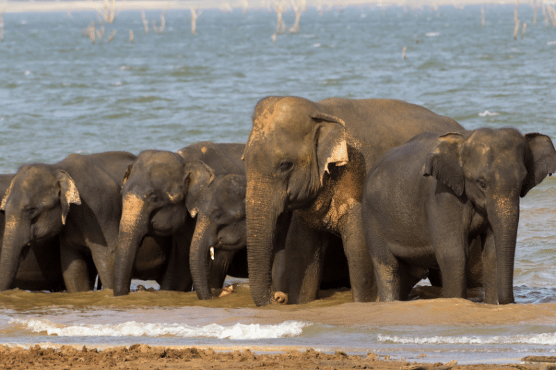 a group of elephants wading in the water by a lake in Udawalawe national park