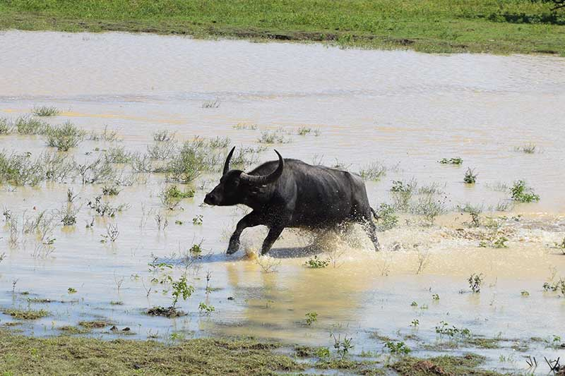 A water buffalo running through the water in Yala safari park