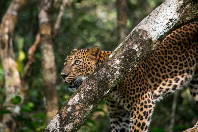 A sri lankan leopard in a tree at wilpattu national park, pictured on a sri lankan safari