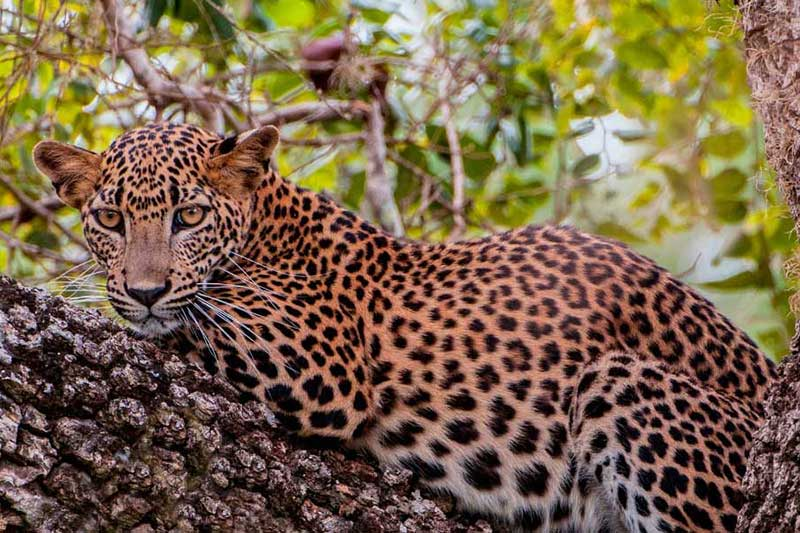 A Sri Lankan leopard lying in a tree