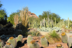 Cactus and plants in a dry desert in Phoenix