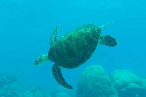 A green sea turtle swimming underwater, one of the best things to do in mirissa