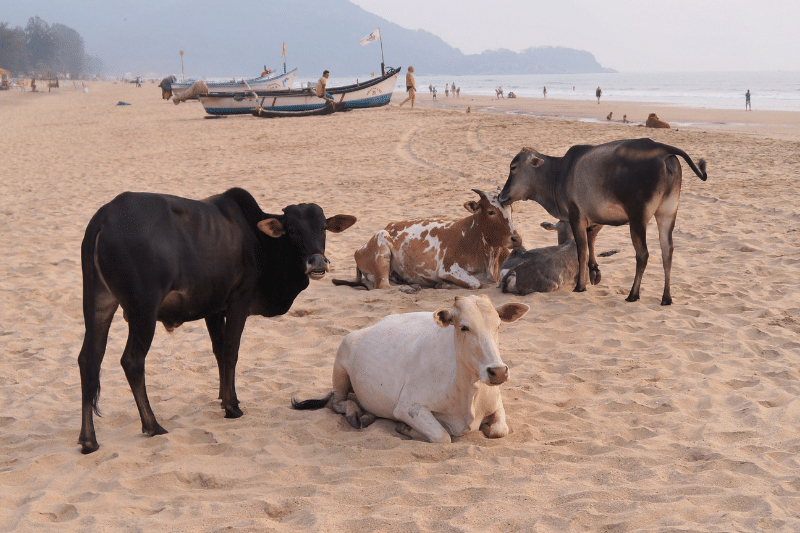 Cows lying on the beach in Goa