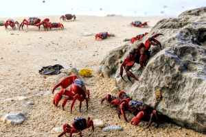 Lots of red crabs on the sand and climbing on rocks on Christmas Island - one of the best places to visit in December