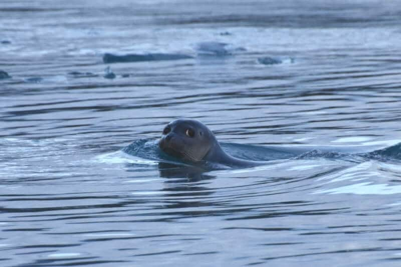 A seal in the water at diamond beach iceland