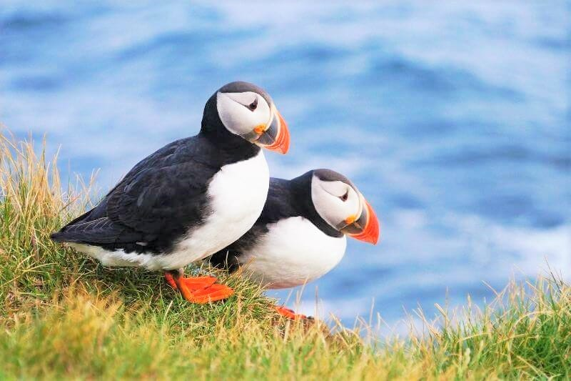 2 Black and white birds with orange beaks (puffins) standing on grass with blue ice in the background