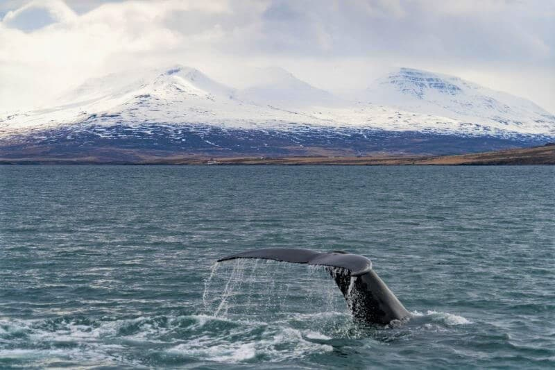 whale tail poking out of the water with ice capped mountains in the background
