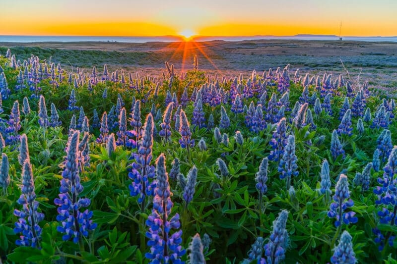 purple lupines with bright orange sunset in the background