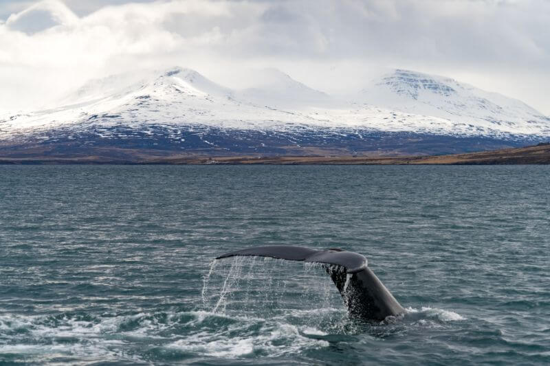 Whale fin diving down into the ocean with white mountains in background
