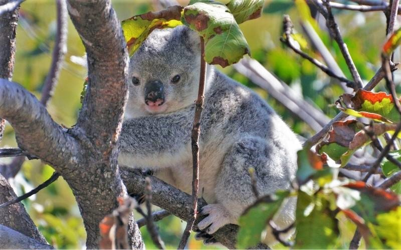Grey koala sat in a tree looking towards left of camera