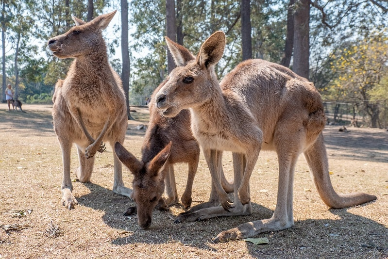 3 kangaroos stood in a group