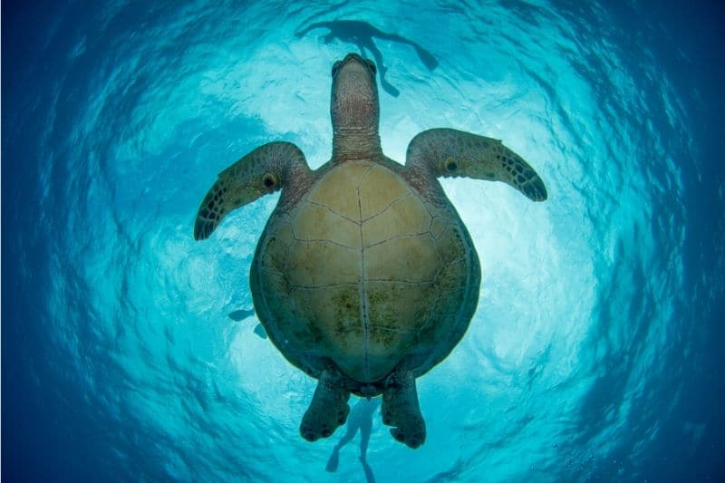 Looking above at the underbelly of a turtle in blue waters