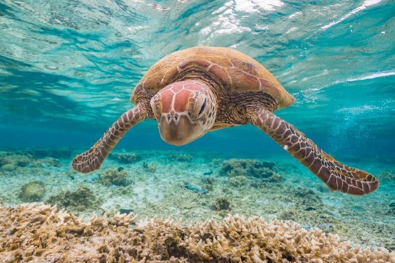 A turtle in Queensland Australia
